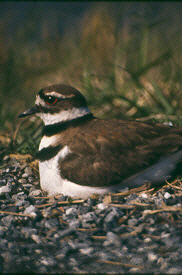 Killdeer on eggs - Photograph by Tony Florio